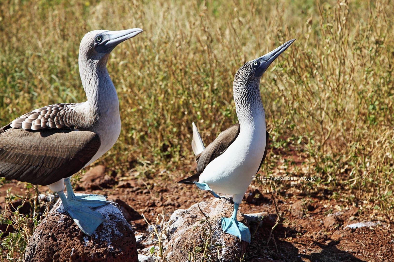 エクアドル「ガラパゴス諸島」- アオアシカツオドリ